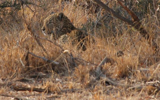 Profileleopard