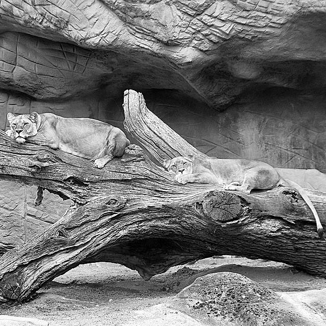 Hamburg Lions